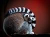 Sumopix, Lemur